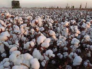 While the commencement of the cotton harvest season has been accompanied by a softening of the domestic cotton price, however, it remains 17% higher year-on-year.