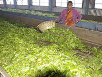 Kenya saw an over 50% increase in production in the last year which was responsible for an oversupply and fall in tea prices in the international market.