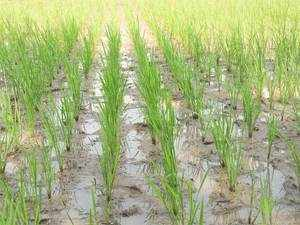According to Chand, no effect of demonetization was seen on prices of major crops like paddy, soyabean, and maize in November.