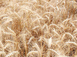 The forecast for wheat production in the Rabi season is 96-98.7 million tonnes compared with the government's estimate of 96.6 million tonnes assuming normal weather conditions through harvest.