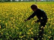 Mustard prices, however, will remain stable even as the new crop has started arriving in mandis.