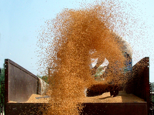 Right now, the arrival of new wheat crop has begun in Madhya Pradesh. The crop is yet to arrive in other growing states, he said.