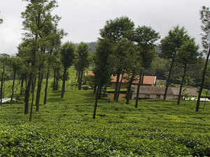 Makaibari bags best ever price for first flush tea at Rs 19,363 a kg