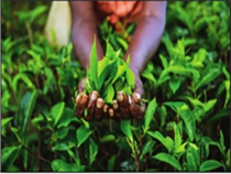 Tea boutique owners in west India said tea drinkers are ready to pay Rs 1,300-1,500 kg for Darjeeling aroma.