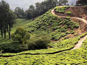 The second flush, from late May/early June to early July, produces a very premium quality of tea and fetches high realisations in the export markets.