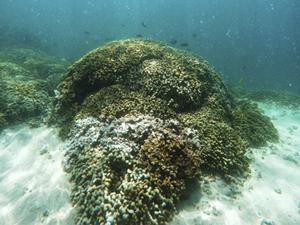 corals-ed