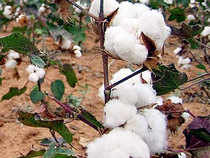 Cotton traders expect Indian cotton prices to remain firm till October when the new crop arrives, or even rise marginally from the second half of August.