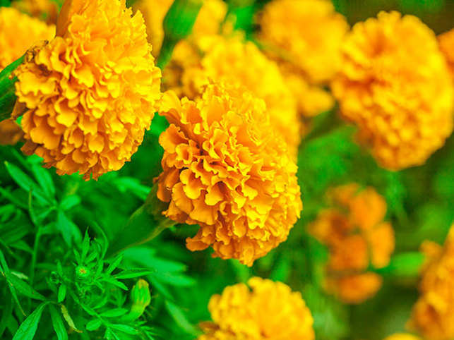 Marigold (gainda) flowers can also be used to prepare a hair rinse.