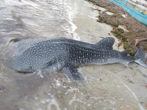 whale-shark-ed