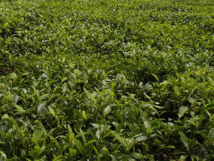 Bought-leaf factories buy green leaves from small tea growers, process the leaves and sell them.