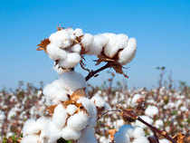 Cotton acreage is up 19.3 per cent in 2017-18 compared to previous year, at 121.51 lakh hectares, according to government figures.