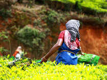 In Kerala, nearly 3.3 lakh people work in 7.1lakh hectares of small, medium and large plantations on a daily basis and the sector accounts for nearly 42 per cent of the gross state domestic product.