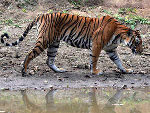 According to NTCA's figures, 71 tigers died in India between January 1 and September 29 this year.