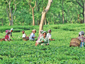India is the world's second largest tea producer, after China, accounting for nearly a fourth of the global tea output in 2015.