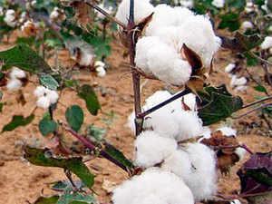 Gujarat, Maharashtra, Telangana, Karnataka, Andhra Pradesh, Haryana, Madhya Pradesh, Rajasthan and Punjab are the major cotton growing states in India.