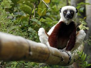 lemur-ed