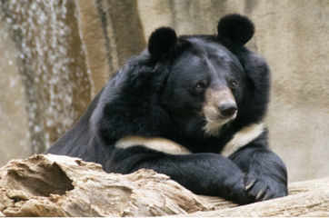 Black bears come back from certain extinction in US' Nevada
