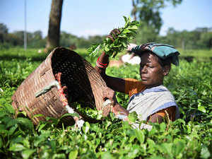 India, the world's second-biggest tea producer, exports CTC (crush-tear-curl) grade mainly to Egypt, Pakistan and the UK, and the orthodox variety to Iraq, Iran and Russia.