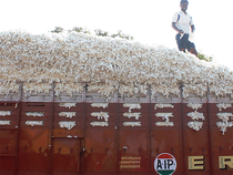 Cotton harvest continues for several months as the crop yields multiple pickings.