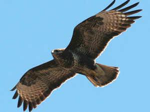Common-buzzard