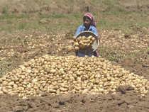 Potatoes-BCCL