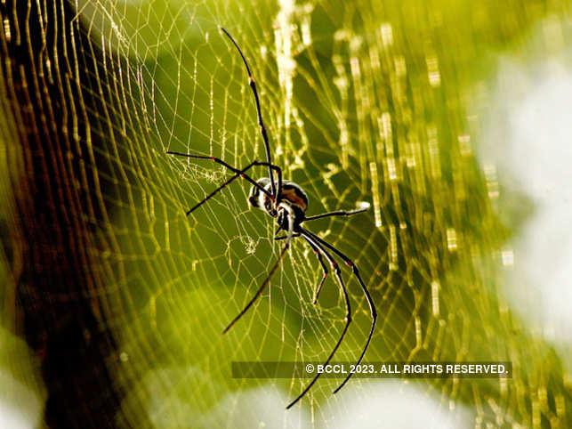 spider1_bccl
