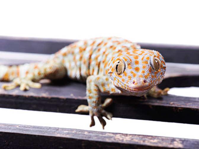 tokay gecko latest news videos photos about tokay gecko the