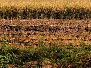 agricultural stubble