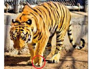 tiger-ed