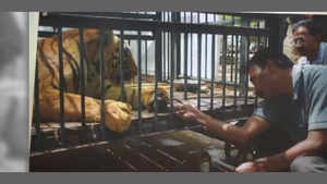 First time ever! Tiger with amputated paw to get prosthetic limb