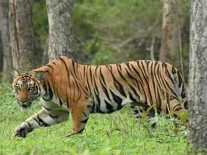 Tiger-bccl