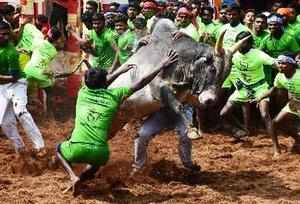 Madurai: Participants trying to tame a bull during the Alanganallur jallikattu i...