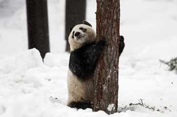 Chinese giant pandas unveiled to public in Finland