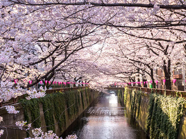 Sakura season in Japan starts from end of March to early April when the country experiences spring in full bloom.