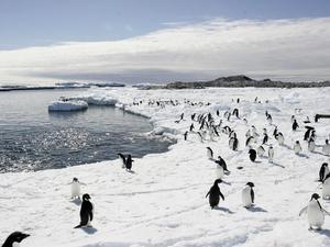 penguins-ed