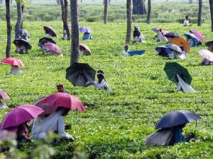 Darjeeling tea belt heads towards a rough terrain