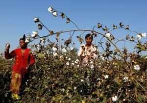 FILE PHOTO: Farmers harvest cotton in a field in Nana Viramgam village, Gujarat, India