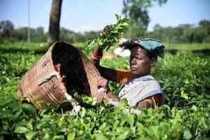 Assam: A tea garden plucking tea leaves at a tea estate in Nagaon district of As...