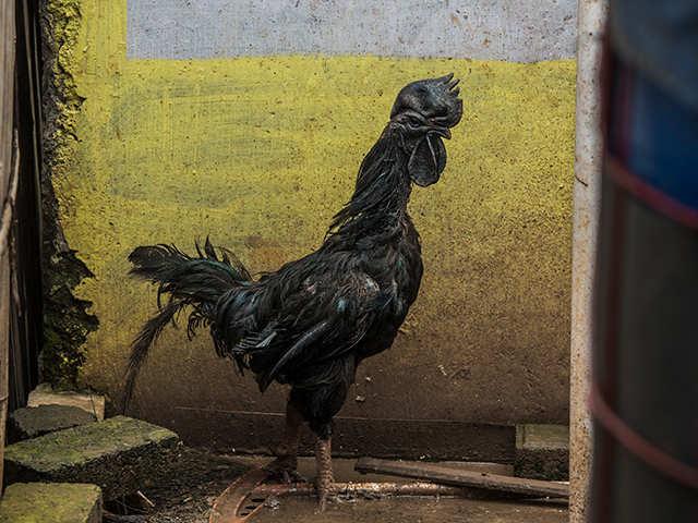 Kadaknath chicken: Why MP and Chhattisgarh are fighting over