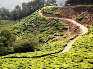 Teaplant-BCCl