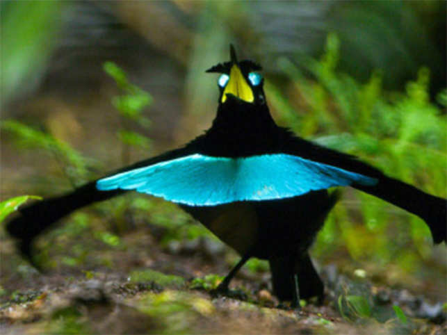 all about vogelkop superb bird of paradise the new species in the