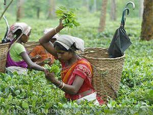 tea-production-bccl