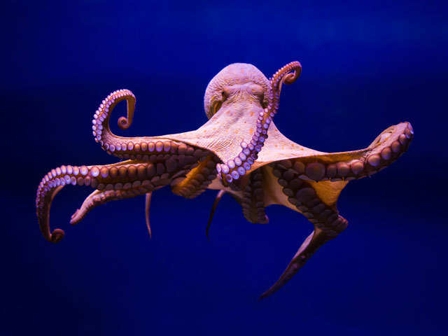Inexplicable abilities does not mean octopuses came from outer space