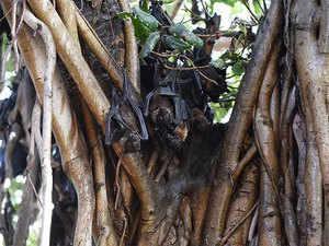 fruit-bats,-nipah-virus