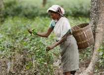 Nagaon: A tea garden worker plucks tea leaves at a plantation, on the eve of Int...