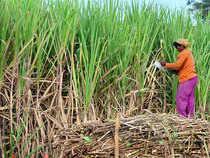 sugarcane--bcc