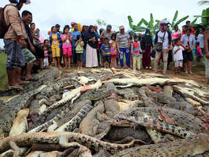 Indonesia mob kills hundreds of crocodiles after man dies