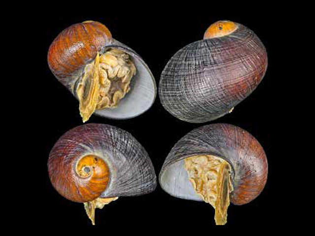 Gigantopelta Chessoia: This snail doesn't need food to survive after metamorphosis