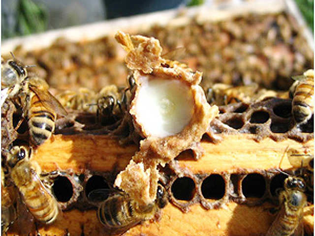 Queen bee's magical 'royal jelly' can reduce ageing and combat cancer
