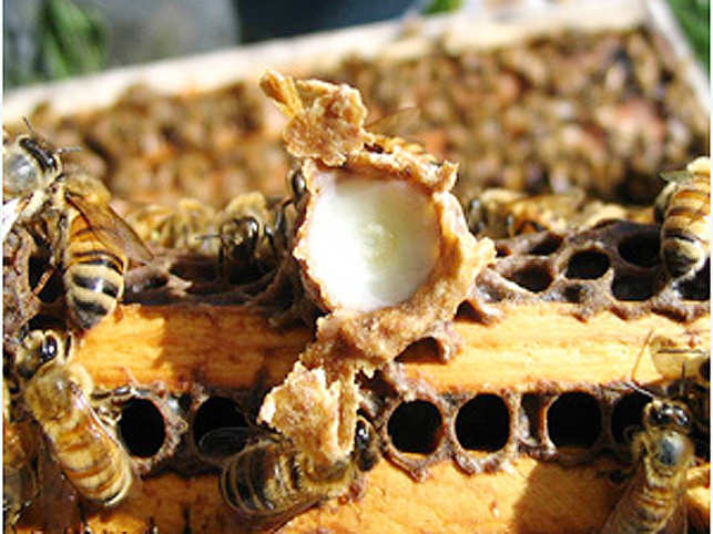 A cell full of royal jelly. (© University of Manitoba)
